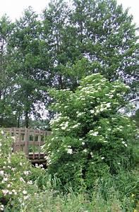 Purin De Sureau : hortical sureau noir sambucus nigra vlier gewone ~ Melissatoandfro.com Idées de Décoration