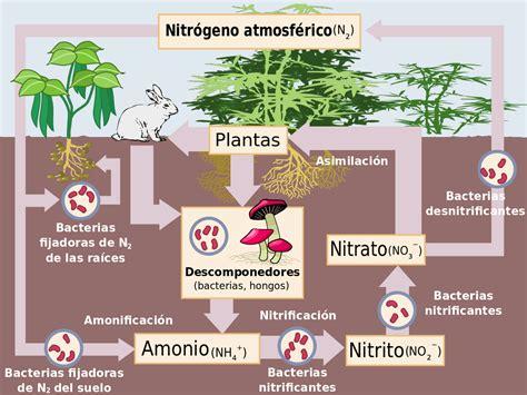 ciclo nitr 243 geno la enciclopedia libre