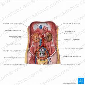Anatomy Of The Pelvic Lymph Nodes And Vessels