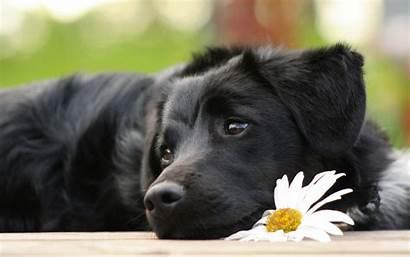 Labrador Retriever Wallpapers Lab Puppy Background Puppies