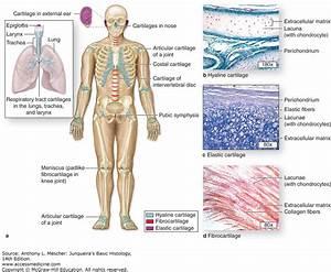 Lacunae Anatomy Definition