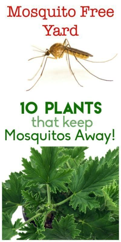 plants that prevent mosquitoes keep your yard and garden mosquito free here are 10 plants that will help keep those pesky