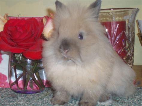 lionhead rabbits  sale  naperville illinois