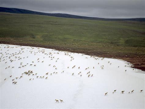 habitat si鑒e social foto animali e piante della tundra 4 di 5 national geographic