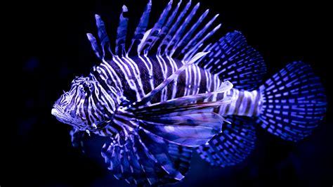 wallpaper lionfish underwater hd  animals
