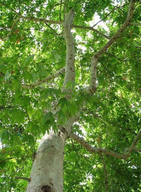 oosterse plataan platanus orientalis oriental planetree
