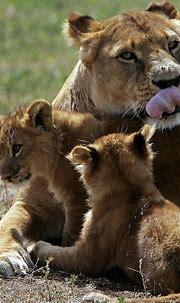 lioness,   Animal kindom, Wild cats, Beautiful cats