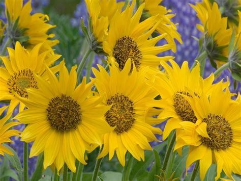 Beautiful Sunflowers Wallpaper : Wallpapers13.com