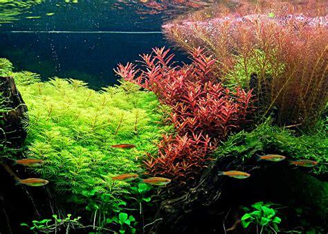 plante pour aquarium d eau froide vente plante aquarium poisson naturel