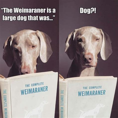 do weimaraner puppies shed 25 best weimaraner ideas on