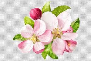 Apple Tree Blossom Png