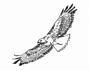 Red Tailed Hawk Flying Drawing