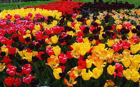 Tulip Flower Garden Hd Desktop Wallpapers 4k Hd