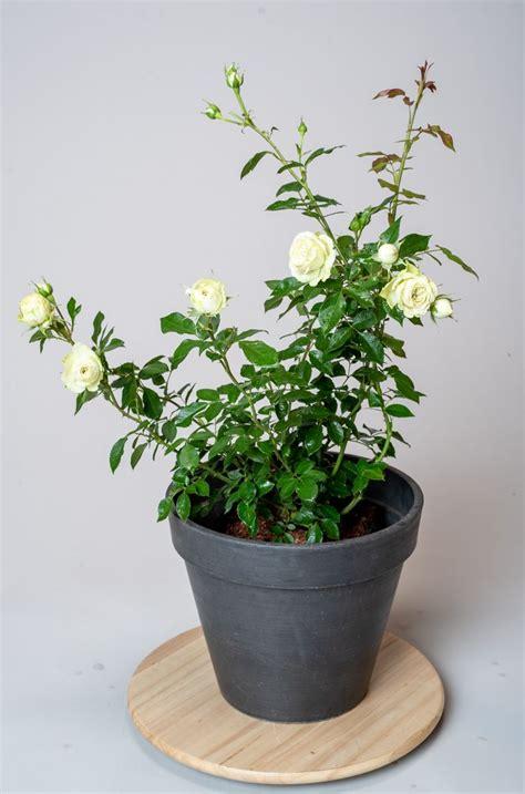 strauchrose lovely green rosa lovely green guenstig