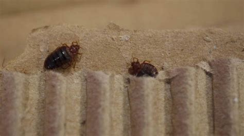 bed bugs   rampage  pest controllers report double