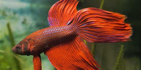 marble lazy 439 amazing betta fish names bettafish org