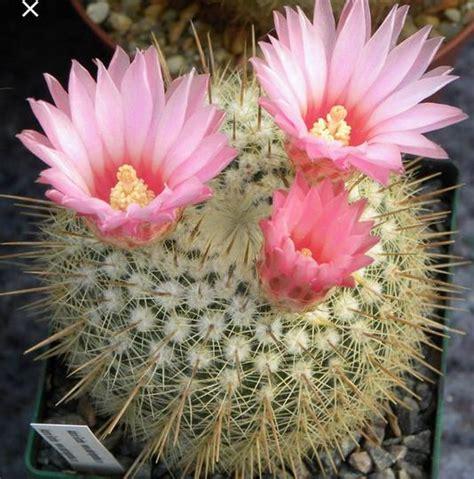paling keren 29 foto bunga kaktus