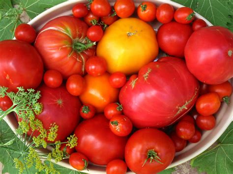 how to grow tomato at home how to grow tomatoes in containers best tips for growing tomatoes