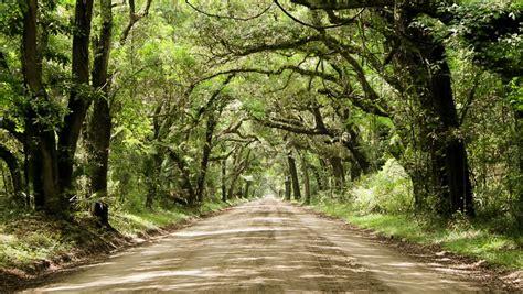 stock video   dirt road canopied  oak
