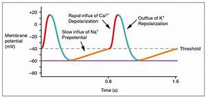 Action Potential In Cardiac Pacemaker Cells