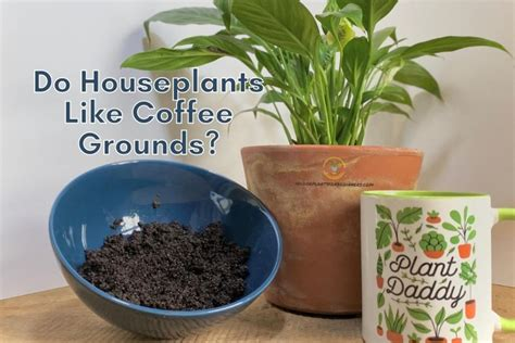 Coffee grounds (and brewed coffee) are a source of nitrogen for plants, which is the nutrient that produces healthy green growth and strong stems. Do Indoor Plants Like Coffee Grounds? - Indoor Plants for Beginners