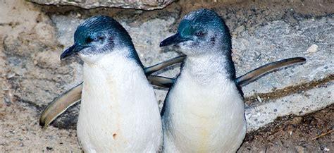 Little Blue Fairy Penguins
