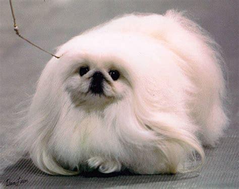 pekingese dog breed information pictures