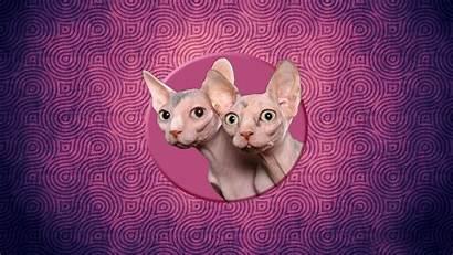 Sphynx Cat Cats Wallpapers Allwallpaper Kittens Pc