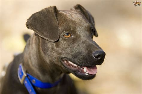 No Shedding Dog Breed by Patterdale Terrier Dog Breed Information Buying Advice