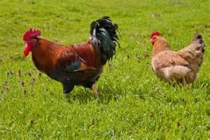 basse cour les poules et les coqs