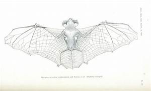 Animal  U2013 Bat