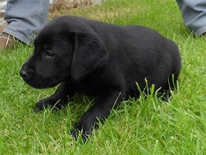 Chunky black Labrador pups 8 weeks old. | Mansfield ...