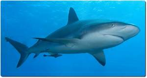 Here You Can Learn The Coolest Facts About Sharks Shark Sider
