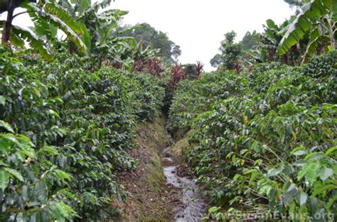 Just as mountain lions are found on peaks, we strive for our coffee to be at the peak of freshness and quality. Coffee Plantation Zipline Tour, Guatemala - Susan's Homeschool Blog Susan's Homeschool Blog