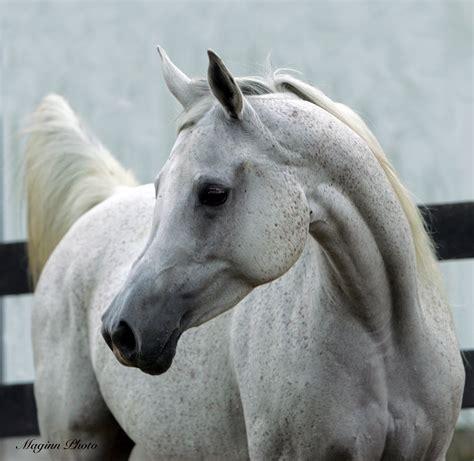 arabian horse weneedfun