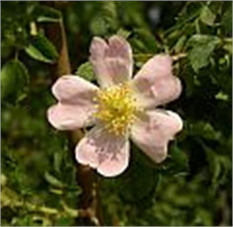 fiori ermafroditi rosa canina