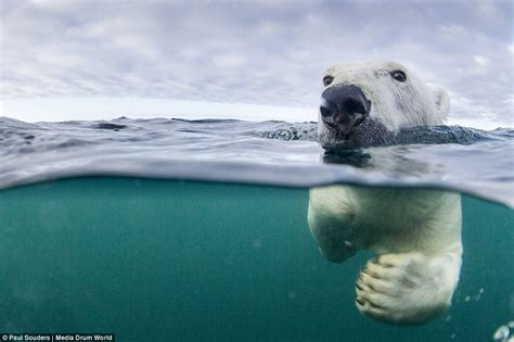 Polar Bears Learning To Swim Long Distances To Search For