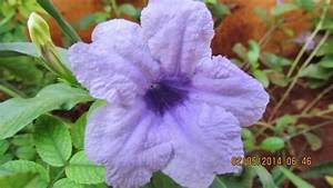 Light Purple Flower from India | FLOWER