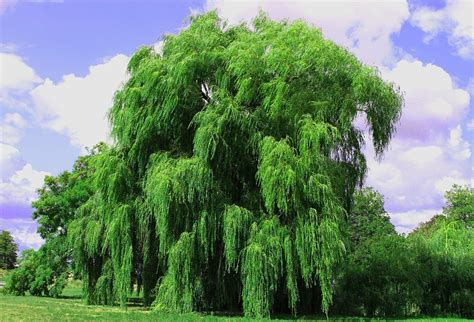 Saule pleureur : entretien, arrosage, plantation, durée de ...