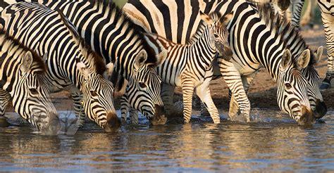 Zebra Family Drinking