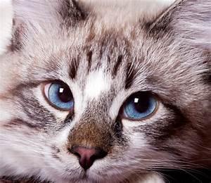 Bicarbonate Contre Les Puces De Chat : puces des chats mon chat a des puces doctissimo l allergie du chat aux puces dermatite ~ Melissatoandfro.com Idées de Décoration