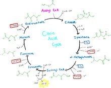 fundamentals  human nutritioncitric acid cycle