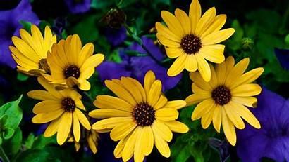 Flowers Yellow Background Desktop Rudbeckia Fabulous Google