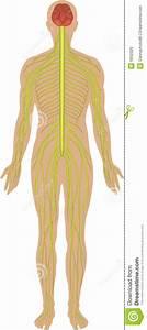 Nervous System Stock Illustration  Illustration Of Diagram