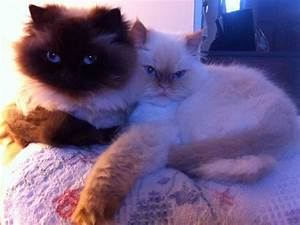 Himalayan Cats With Lion Cuts | www.imgkid.com - The Image ...