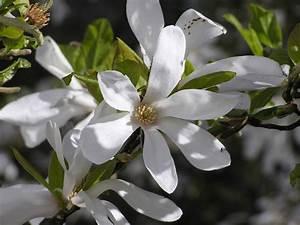 Magnolie Blüht Nicht : magnolie bl ht nicht ~ Buech-reservation.com Haus und Dekorationen