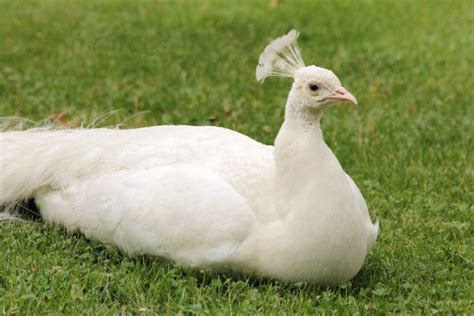 photo d un paon blanc au jardin d acclimatation 224 paris