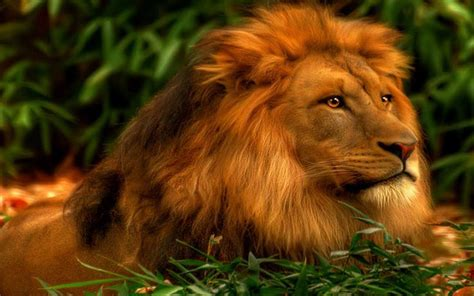 Wallpaper High Quality Lion  Wwwpixsharkcom Images