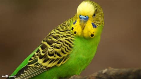 budgie bird budgies images green budgie hd wallpaper and background photos 36931359