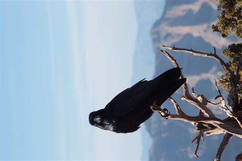 giant crow photo